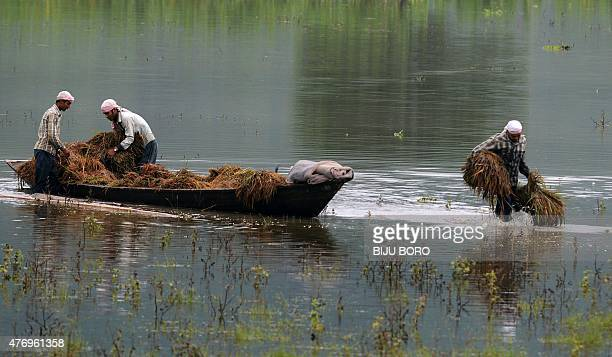 Indian villagers use a boat to transport harvested crops through floodwater in Mayong village some 40 kms from Guwahati on June 13 2015 Flooding in...