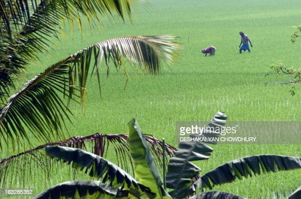 Indian villagers work in a paddy field in a village close to Kolkata 17 February 2006 Rice culture is the backbone of India's economy providing...