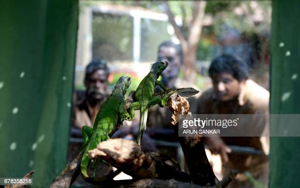 Indian visitors watch a pair of Green Iguana also known as American Iguana while on display at Guindy Snake Park in Chennai on May 4 after being...