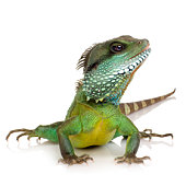 Indian Water Dragon-Physignathus cocincinus