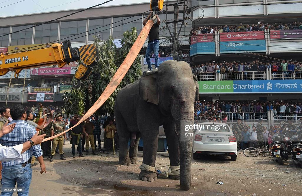 Indian wildlife officials use a crane to lift a wild elephant that had been walking through a busy street in Siliguri on February 10, 2016. The adult male elephant was tranquilised and captured by wildlife officials and transported to a nearby forest. AFP PHOTO / Diptendu DUTTA / AFP / DIPTENDU DUTTA