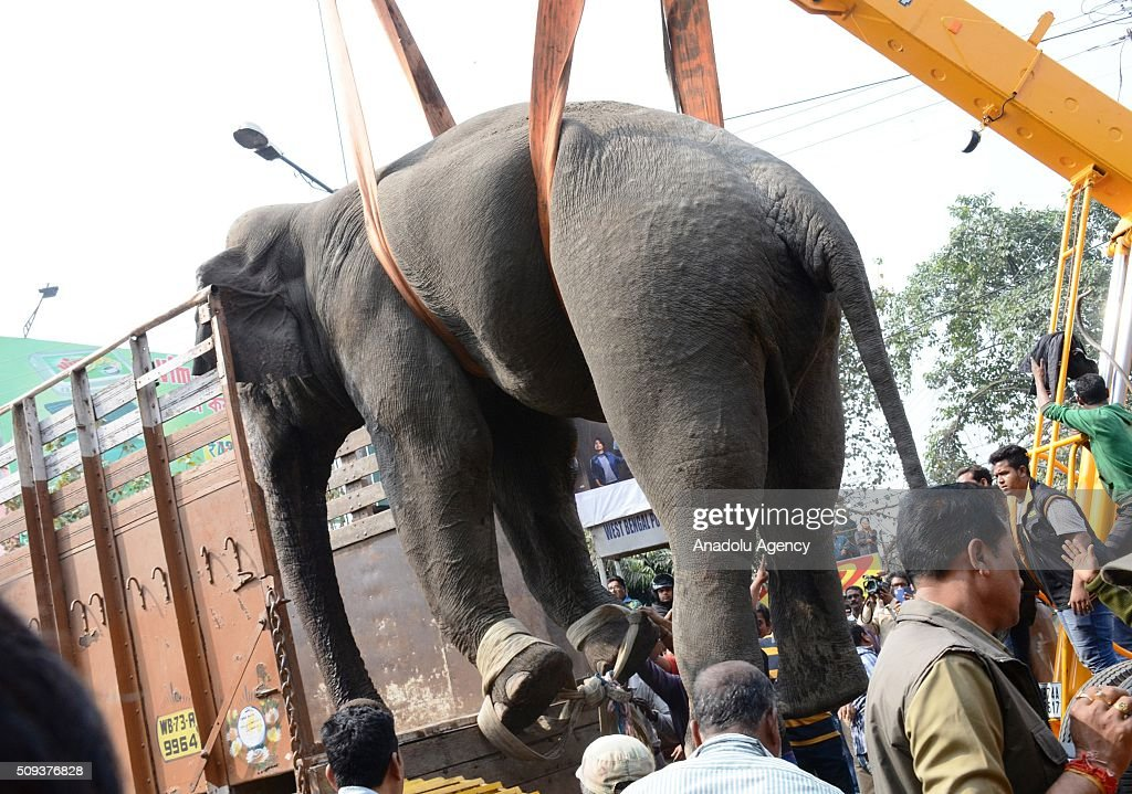 Indian wildlife officials use a crane to lift a wild elephant that strayed into the town after authorities shot it with a tranquilizer gun at Siliguri in West Bengal state, India, on February 10, 2016. A full-grown wild elephant went on a rampage through a West Bengal town on Wednesday, damaging up to 100 houses before eventually being subdued with tranquilliser guns.