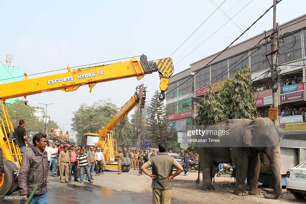 Indian wildlife officials using a crane to catch a wild elephant after it was tranquilised on February 10, 2016 in Siliguri, India. A wild elephant had wandered from the Baikunthapur forest in Siliguri, West Bengal, crossing roads and a small river before entering the town. The panicked elephant ran amok, trampling parked cars and motorbikes before it was tranquilised.