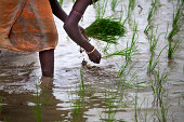 Indian Woman sowing rice seeds in monsoon