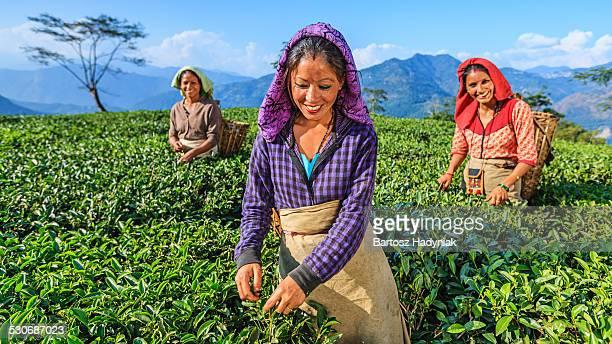 Indian women plucking tea leaves in Darjeeling