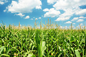 Indiana Cornfield with Clouds on Bright Summer Day