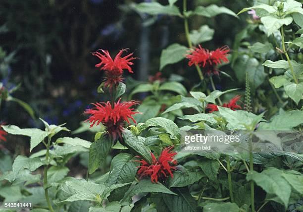 Indianernessel Familie der Lippenblütler auch Goldmelisse Monarda oder Pferdeminze genannt Aufgenommen um 1998