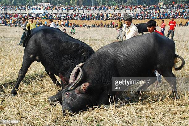 Indians watch a traditional buffalo fight in progress at Ahatguri some 80 kms away from Guwahati the capital city of India�s northeastern state of...