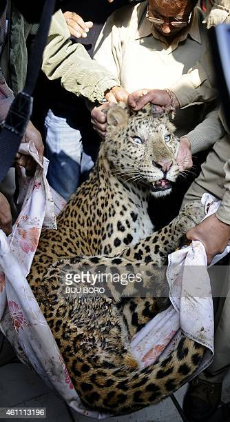 India's Assam state zoo officials carry a sedated leopard after it wandered into a residence in Guwahati on January 7 2015 The fully grown leopard...