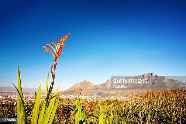 Indígena Granadilha na frente de Montanha da Mesa, Cidade do Cabo
