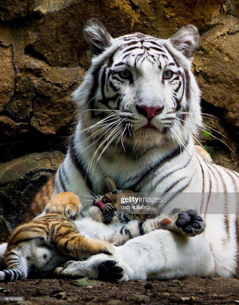 Indira a bengal white tigress lies down with one of her cubs at the zoo of Cali Colombia on February 6 2014 The three cubs were born on November 30...