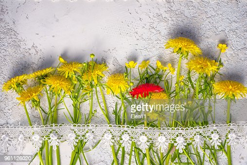 individuality concept: red dandelion between yellow ordinary ones, top view still life with copy space above. : Stock Photo