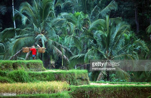Indonesia, Bali, man with basket in rice field.