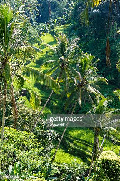Indonesia, Bali, Palms and rice fields
