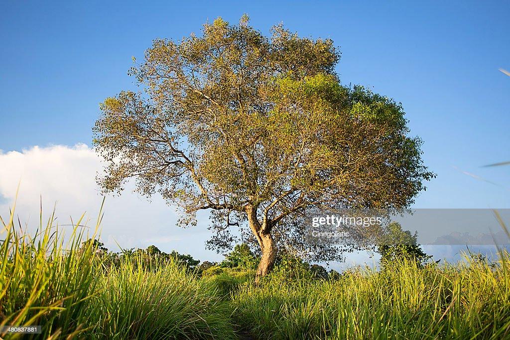 Indonesia, Bali, Ubud, Tree : Stock Photo