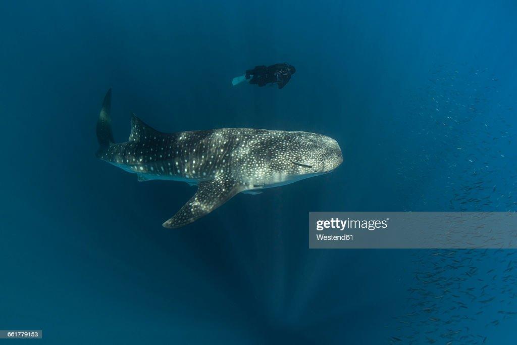 Indonesia, Cenderawasih Bay, Whaleshark and female diver
