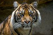 Indonesia, East Java, Surabaya, captive Sumatran tiger, close-up