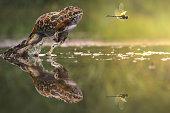 Indonesia, Frog chasing damselfly