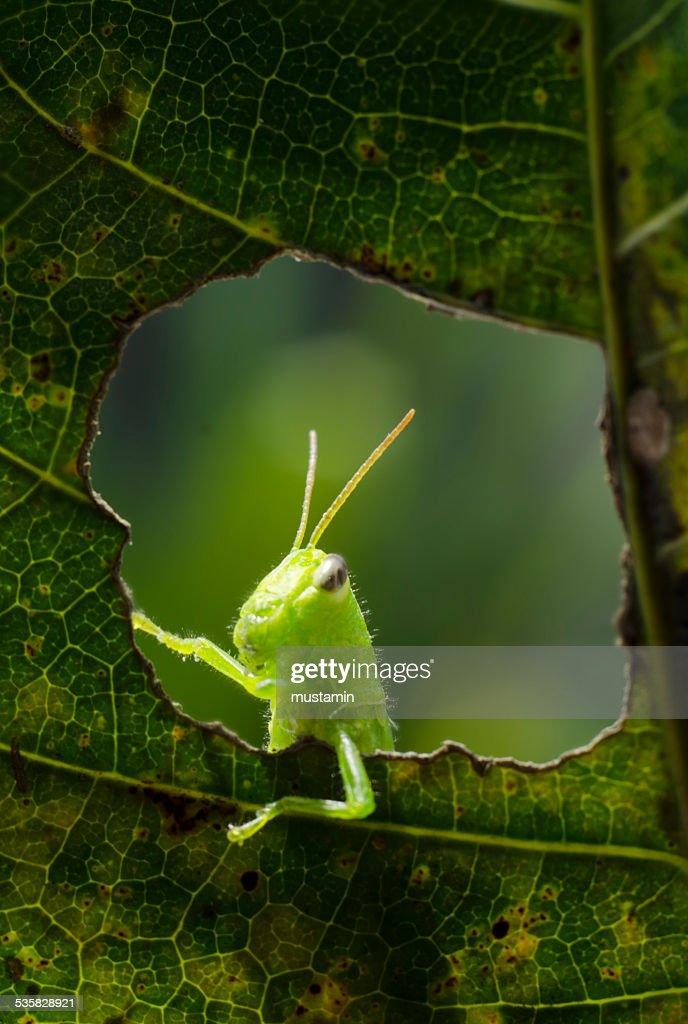 Indonesia, Gorontalo, Grasshopper on leaf