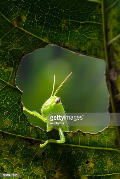 Indonesia, Gorontalo, Grasshopper on leaf