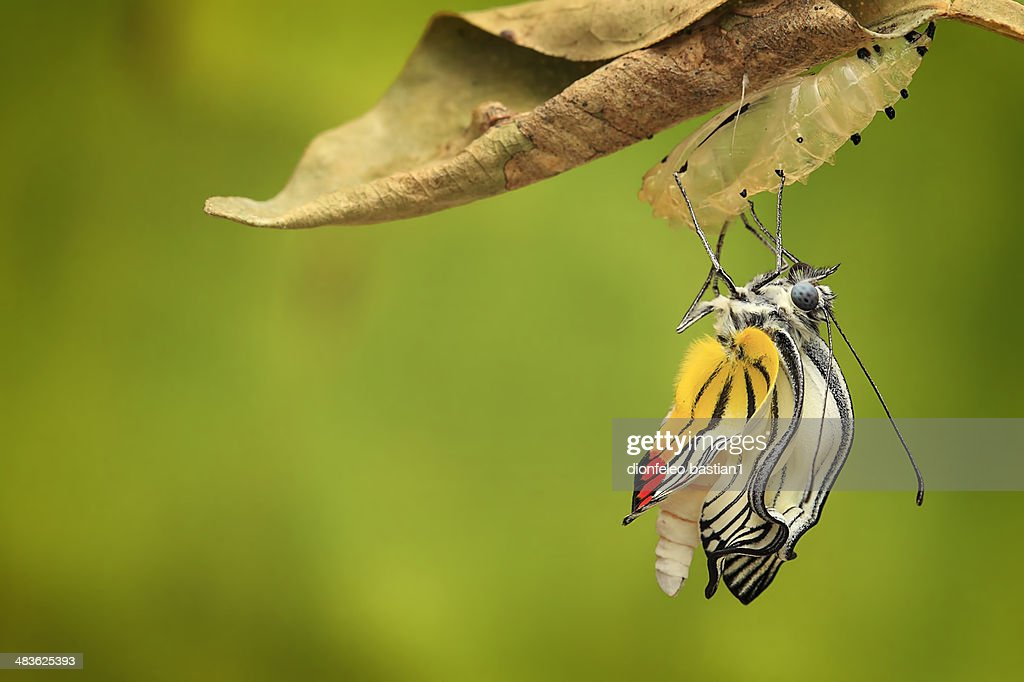 Jember Indonesia  city images : Indonesia Jember Butterfly Coming Out Of Cocoon Stock Photo | Getty ...