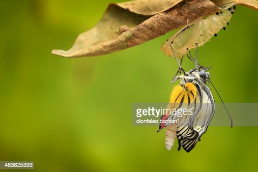 Indonesia, Jember, Butterfly coming out of cocoon