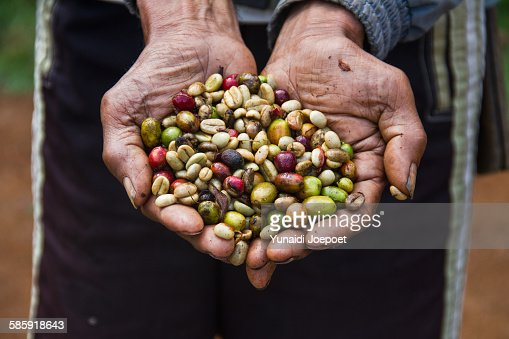 Indonesia, man holding freshly Arabica coffe beans