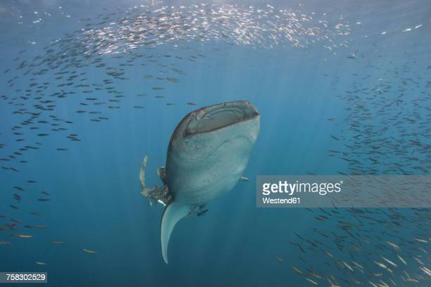 Indonesia, Papua, Cenderawasih Bay, Whale shark and school of fish