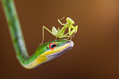 Indonesia, Riau Islands, Batam City, Mantis on snake
