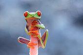Indonesia, Riau Islands, Batam City, Red-eyed tree frog on flower head