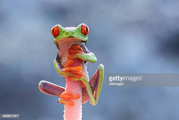 Indonesia, Riau Islands, Batam City, Red-eyed tree frog on flower head