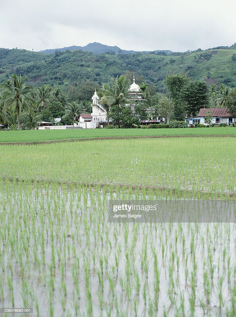 Indonesia, Sumatra, Padang, rice paddy, mosque in background : Stock Photo