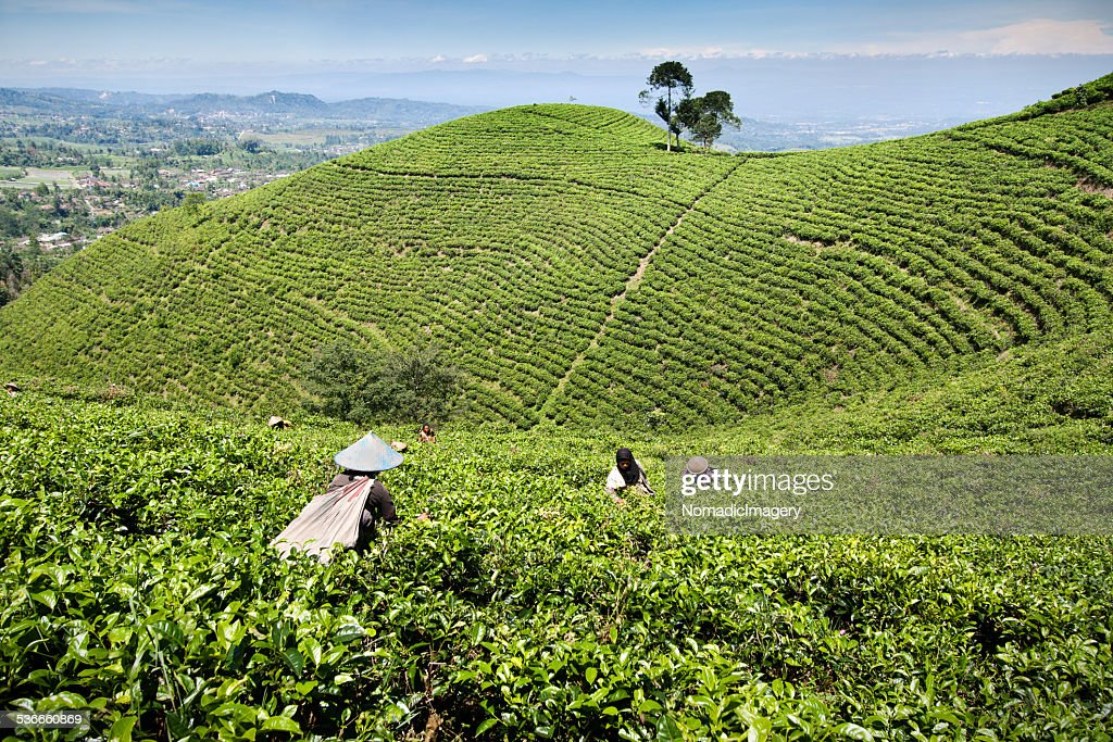 Indonesia Tea