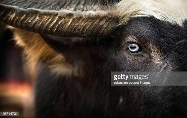 Indonesian Buffallo