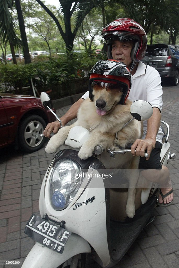 Indonesian dog lover Handoko Njotokusumo and Ace ride through traffic during their weekend joy ride on a motorcycle in Surabaya located in eastern Java island on March 2, 2013. Handoko, 57 a retired businessman, regularly takes Ace, a golden retriever, for a ride around the city.