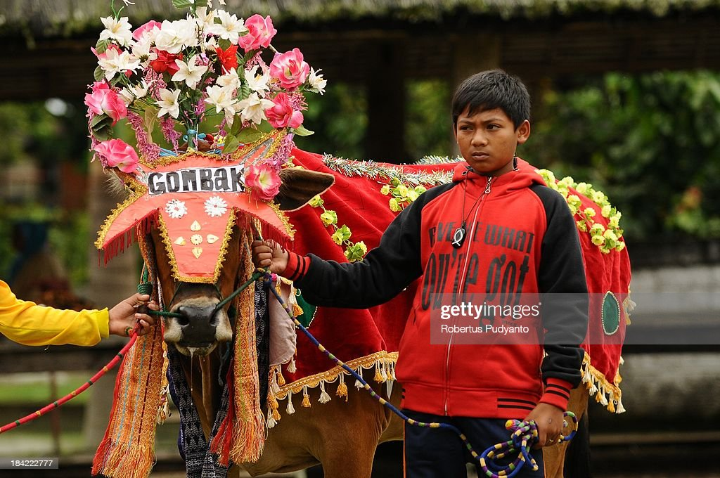 A Indonesian farmer decorates the cows before race in Pacu Jawi on October 12, 2013 in Batusangkar, Indonesia. This Pacu Jawi (traditional cow racing) is held annually in muddy rice fields to celebrate the end of the harvest season by the Minangkabau people. Jockeys grab the tails of the bulls and skate across the mud barefoot balancing on a wooden plank to show the strength of their bulls who are later auctioned to buyers.