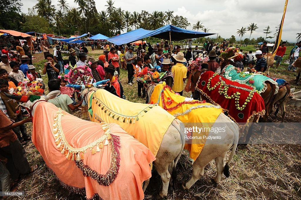 Indonesian farmer decorates the cows before race in Pacu Jawi on October 12, 2013 in Batusangkar, Indonesia. This Pacu Jawi (traditional cow racing) is held annually in muddy rice fields to celebrate the end of the harvest season by the Minangkabau people. Jockeys grab the tails of the bulls and skate across the mud barefoot balancing on a wooden plank to show the strength of their bulls who are later auctioned to buyers.