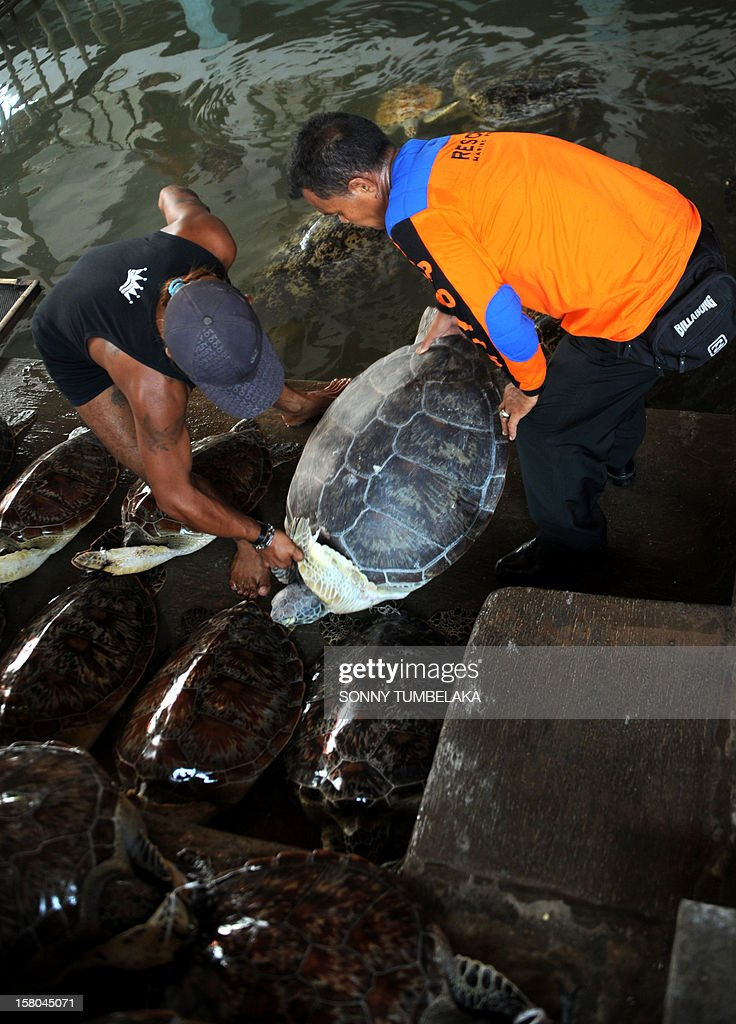 Indonesian marine police move a rescued green turtle (Chelonia mydas) in Denpasar on Bali island on December 10, 2012. Indonesian marine police seized 33 green turtles from a traditional boat at a water sports area in Tanjung Benoa early on December 10. Indonesia, home to important migration routes at the crossroads of the Pacific and Indian Oceans, is home to six out of seven of the world's turtle species. AFP PHOTO / SONNY TUMBELAKA