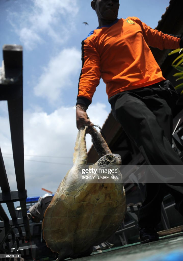 Indonesian marine police move a rescued green turtle (Chelonia mydas) in Denpasar on Bali island on December 10, 2012. Indonesian marine police seized 33 green turtles from a traditional boat at a water sports area in Tanjung Benoa early on December 10. Indonesia, home to important migration routes at the crossroads of the Pacific and Indian Oceans, is home to six out of seven of the world's turtle species.