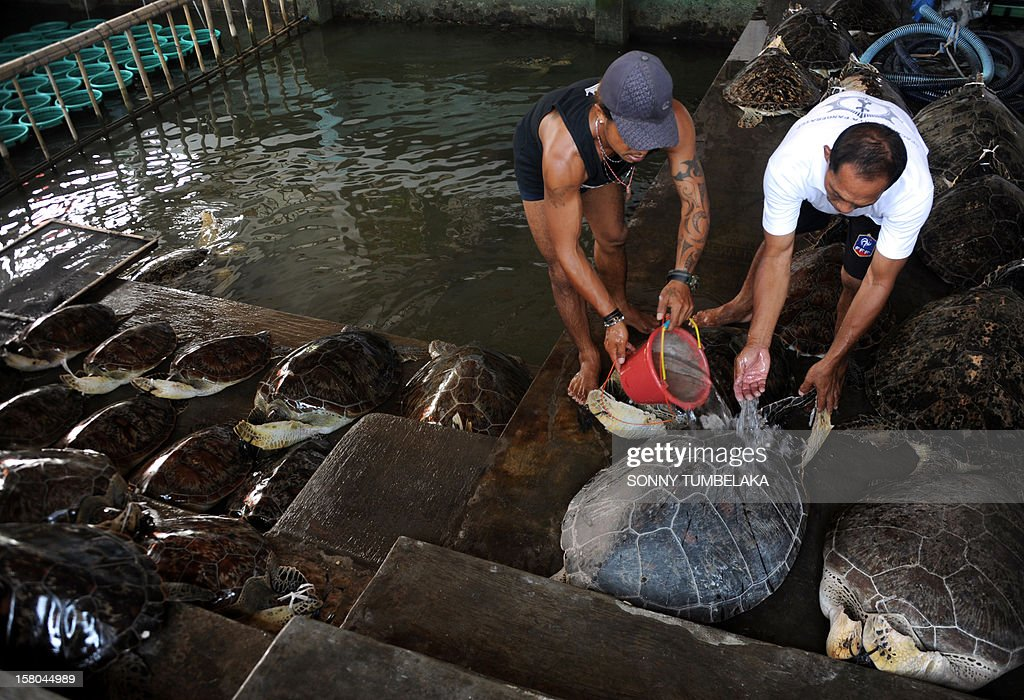 Indonesian marine police pour water over a rescued green turtle (Chelonia mydas) in Denpasar on Bali island on December 10, 2012. Indonesian marine police seized 33 green turtles from a traditional boat at a water sports area in Tanjung Benoa early on December 10. Indonesia, home to important migration routes at the crossroads of the Pacific and Indian Oceans, is home to six out of seven of the world's turtle species.