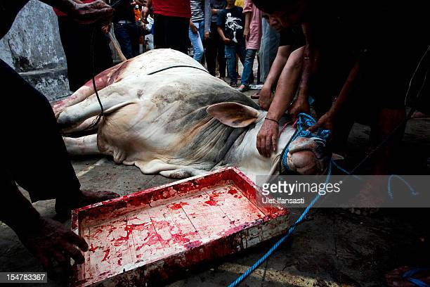 Indonesian Muslims prepare a cow for slaughter during celebrations for Eid alAdha the 'Festival of Sacrifice' on October 26 2012 in Yogyakarta...