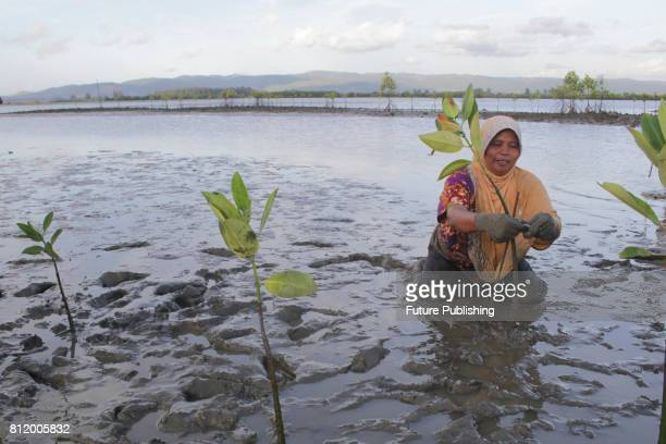 Indonesian people plant mangrove at Alue Naga beach on July 10 2017 in Banda Aceh Indonesia Utilization of mangrove forests for coastal areas is...