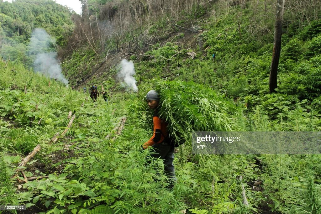 Indonesian police carry marijuana plants after the discovery of a marijuana plantiation in Indrapuri, Aceh province on Febraury 4, 2013. Indonesian police on February 4 seized a nine hectare marijuana plantation but the alleged perpetrators managed to escape. AFP PHOTO / Atha