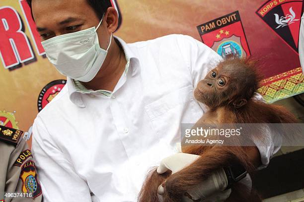 Indonesian police officer holds a baby Orangutan during a press conference at Indonesia Police office on November 09 2015 in Pekanbaru Riau Province...