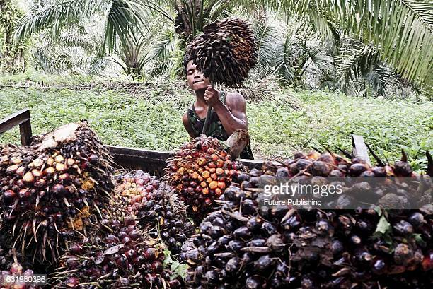 Indonesian workers load palm fruits onto a truck at a palm oil plantation in Kuwala village on January 18 2017 in North Sumatra Indonesia Indonesia...