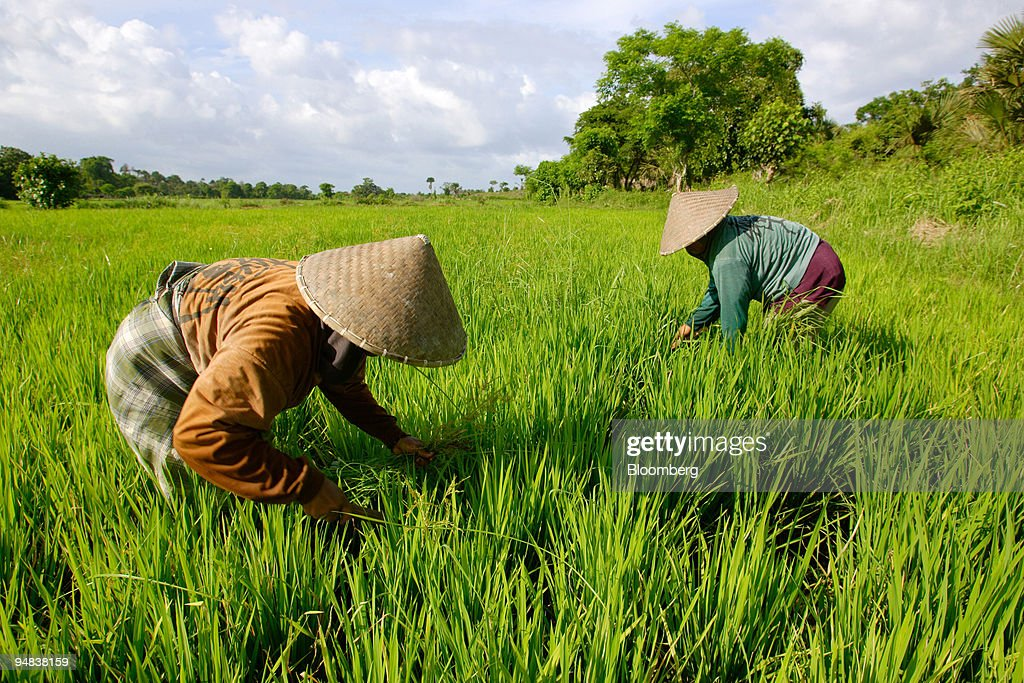 Indonesians tend to their rice crop in paddy fields near the village of Aik Kangkung, about 15 kilometers south of PT Newmont Nusa Tenggara's giant Batu Hijau copper mining pit in the southwest tip of the central Indonesian island of Sumbawa, on Saturday February 5, 2005. Water from catchment areas in the mining area feeds the rice paddy around Aik Kangkung, and is cleaned and monitored by Newmont, which also built and maintain a weir controlling water level in these fields.