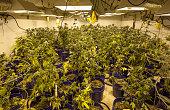 Indoor growing potted Marijuana