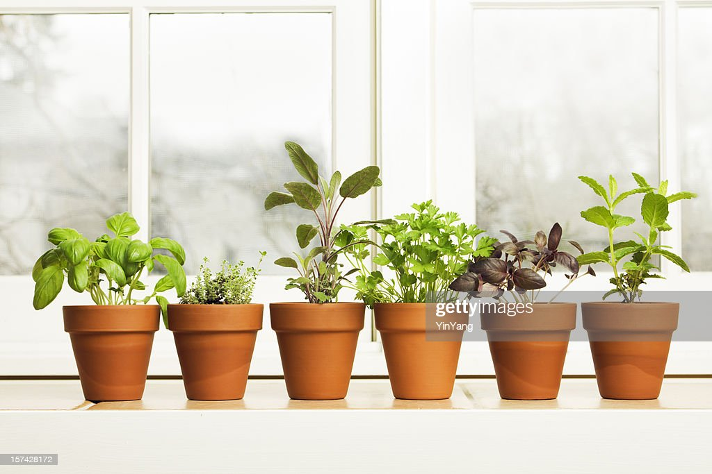 Indoor Herb Plant Garden In Flower Pots By Window Sill Stock Photo ...