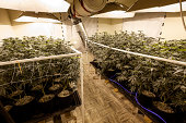 Indoor Marijuana Grow