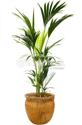 Indoor palm in a wicker pot against a white background : Stock Photo